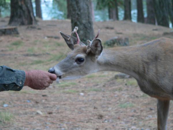 Feeding a deer in Idaho