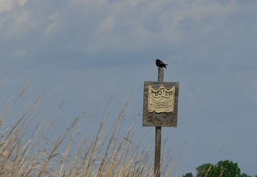 Blackbird on the Transquaking River