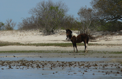 Assateague Pony - Mindie Burgoyne