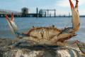 #10 Find the Perfect Chesapeake Blue Crab Cake