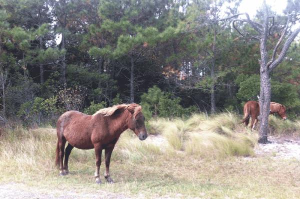 Wild Ponies at Assateague National Seashore