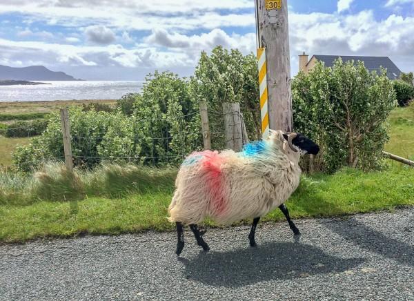 Achill Island sheep run wild through the towns.