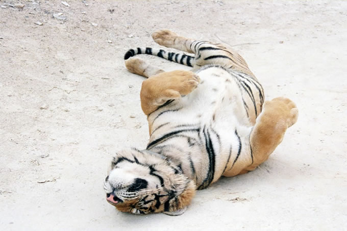 Tiger Rolling