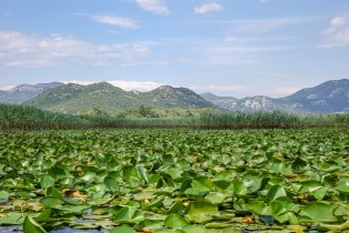 Water lilies blanket the surface of Lake Skadar during summer.