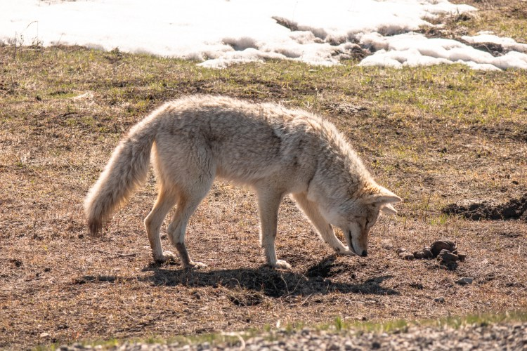 Yellowstone in April Coyote Sighting