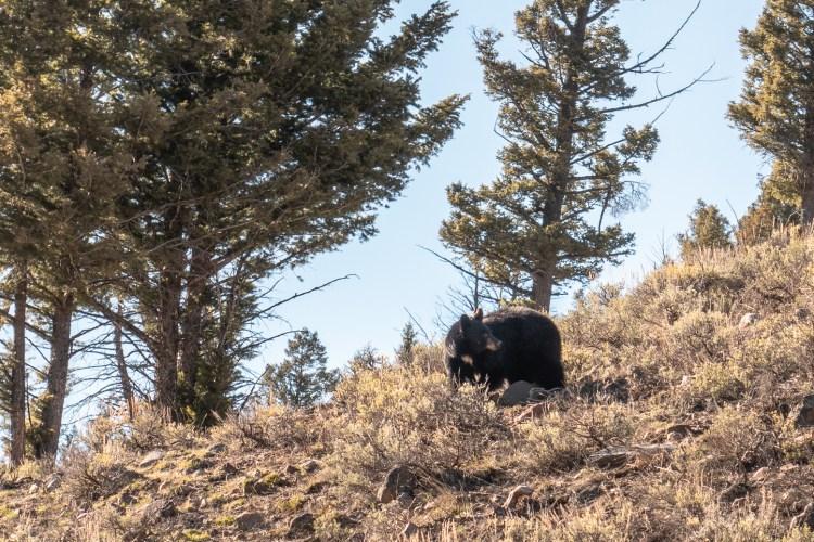 Yellowstone in April Bear Sighting