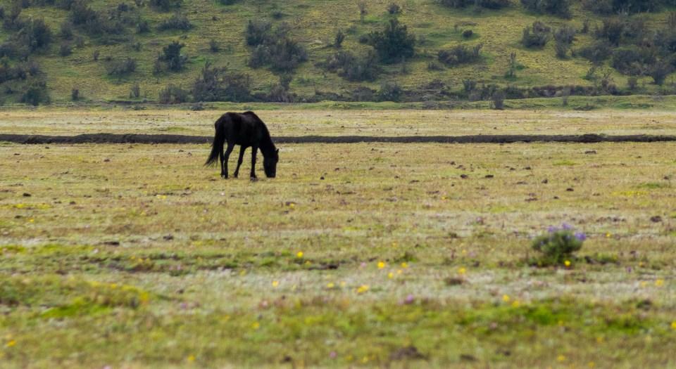 Wild horses, Cotopaxi National Park, Ecuadorian Andes
