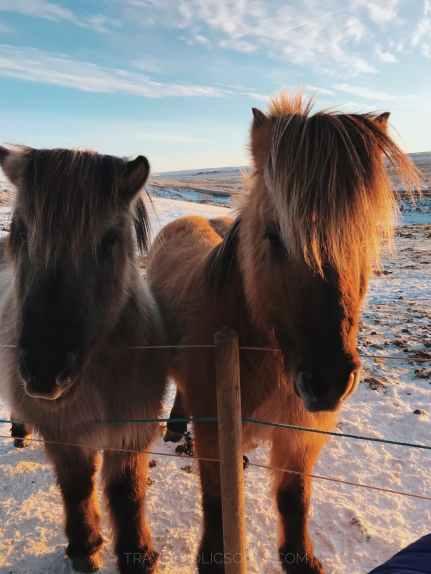 esemplari di cavalli islandesi