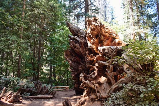 yosemite national giants sequoias