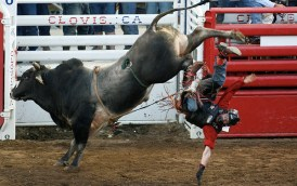 CLOVIS, CA 4/23/09 SPT DLW CLOVIS RODEO 1 - Derek McCormack of Covelo, Calif. is thrown from the bull Walking Thunder for no score during the Thursday night performance of the Clovis Rodeo on April 23, 2009. - DARRELL WONG/THE FRESNO BEE