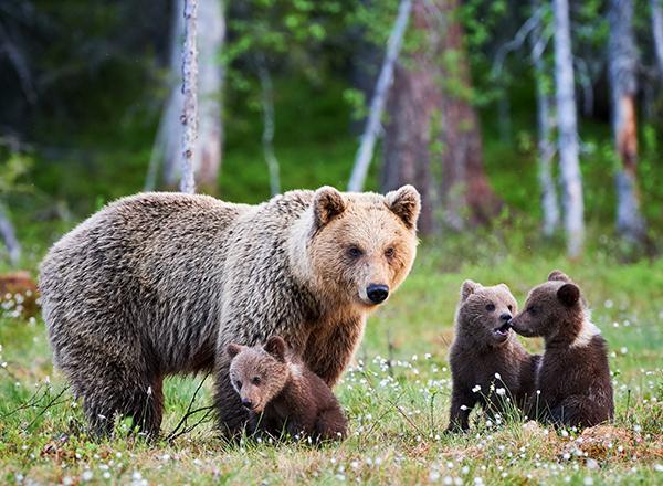 דובה חומה וגוריה