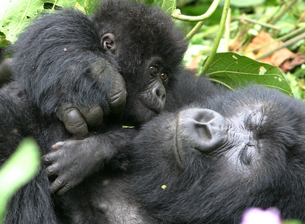 Uganda gorilla mother and baby
