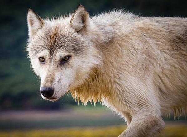 זאב אפור במפרץ אמאליק באלסקה