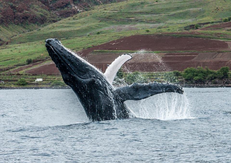 Maui Whale Watching