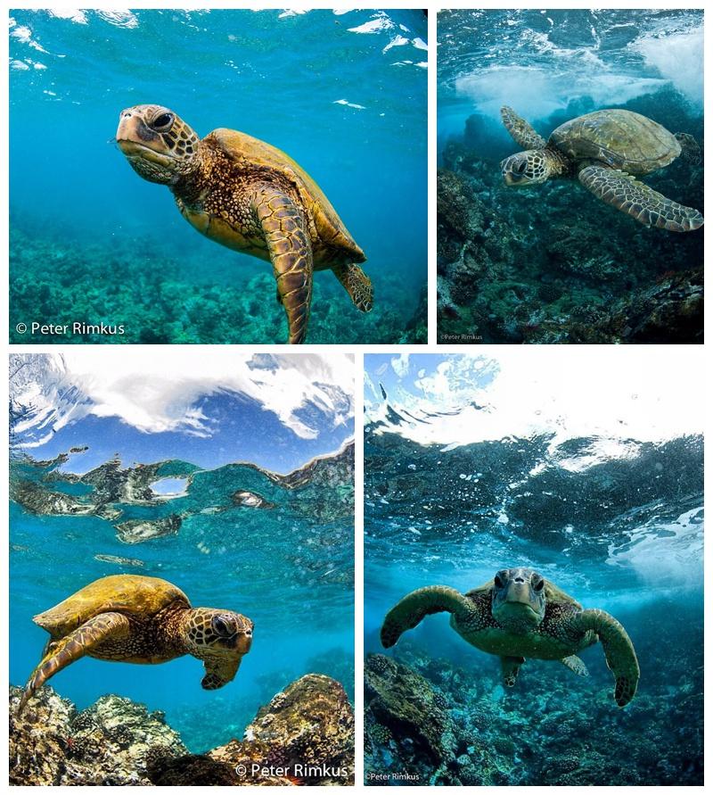 turtles maui hawaii photography