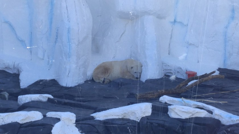 Poor lonely polar bear... his mate is in the den!