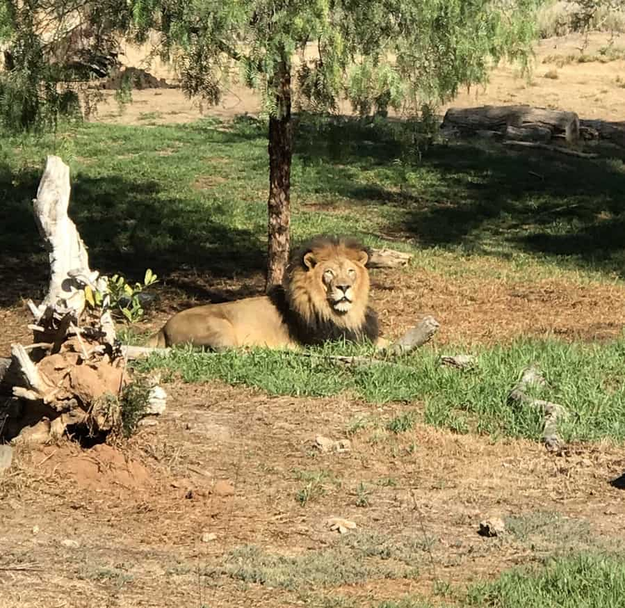 Lion at the San Diego Zoo