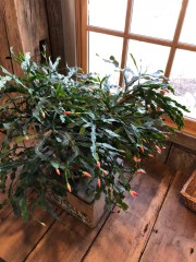 The Wylie House Christmas Cactus