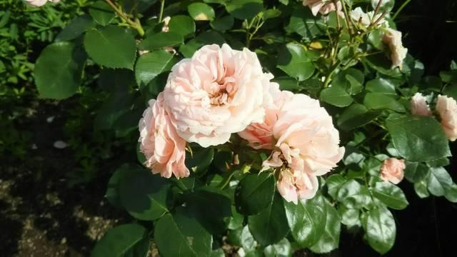 富良野の風のガーデンのピンク色のバラでルイの花