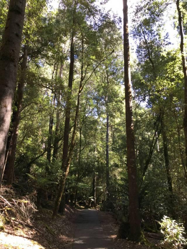 マウントフィールド国立公園「ラッセルフォール」で森林浴