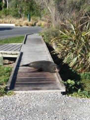 Fur seal sleeping on the path...