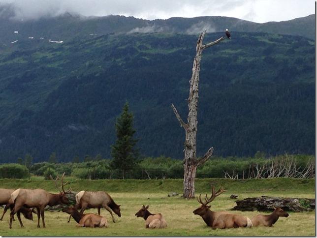 Eagle watching over the elk herd