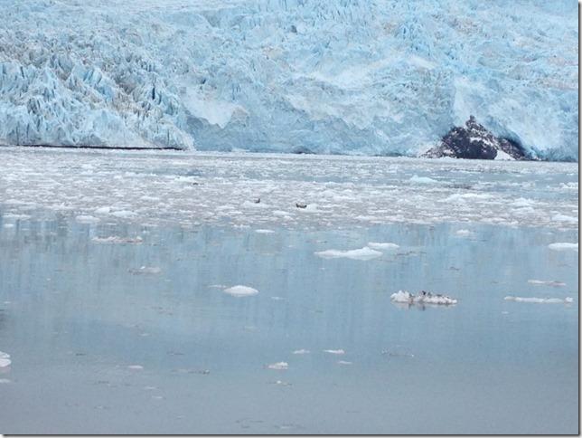 calving glacier with baby seals