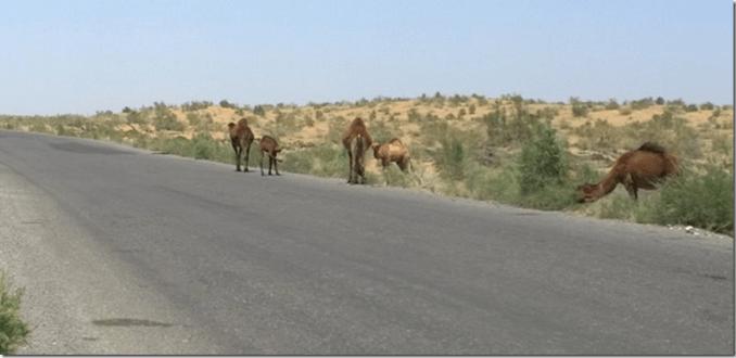 wild camels