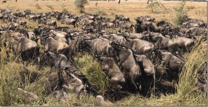 Wildebeest the great migration