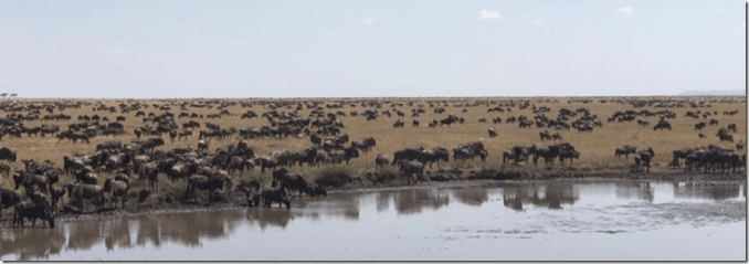 wall to wall wildebeest