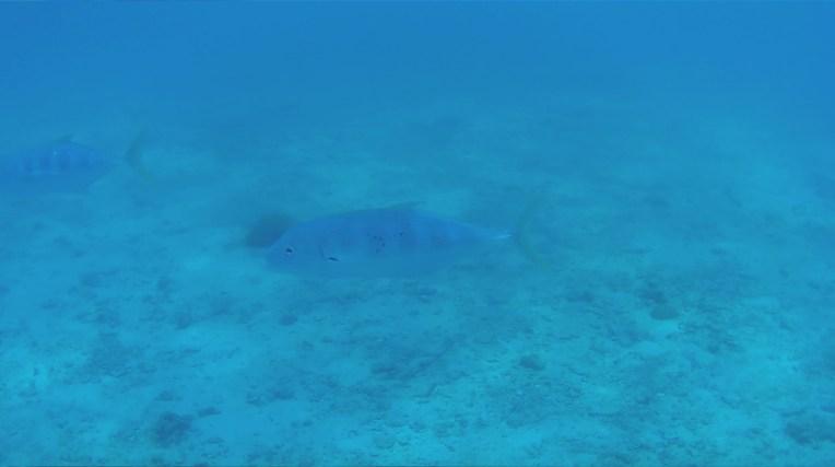 camo bluefish