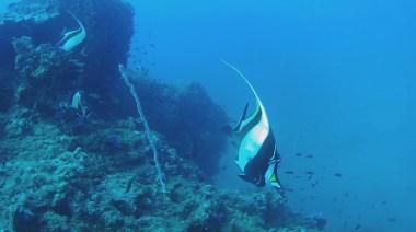 longfin bannerfish