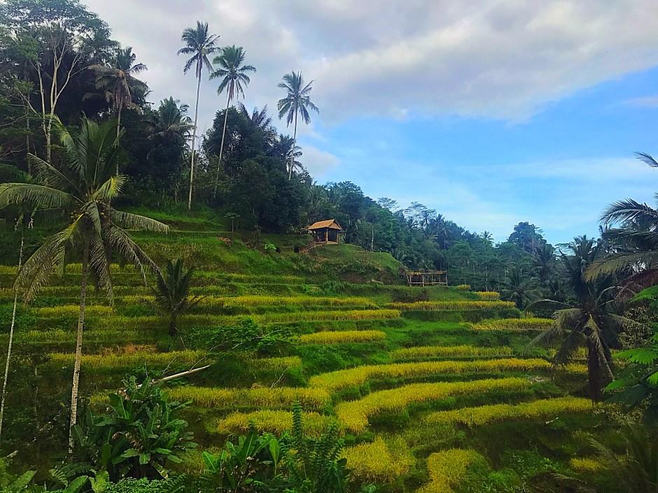 see the rice paddies bali