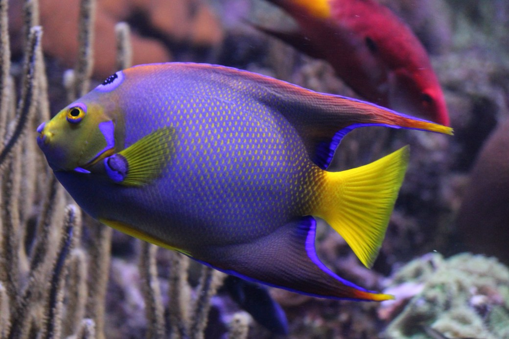 One of the Vibrantly Colored Fish at the Aquarium; Paradise Island, Bahamas; 2011