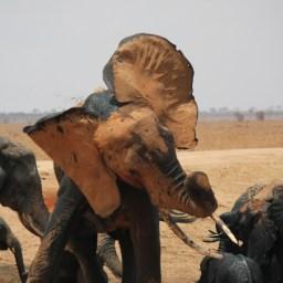 Bull Elephant; East Tsavo National Park, Kenya; 2011