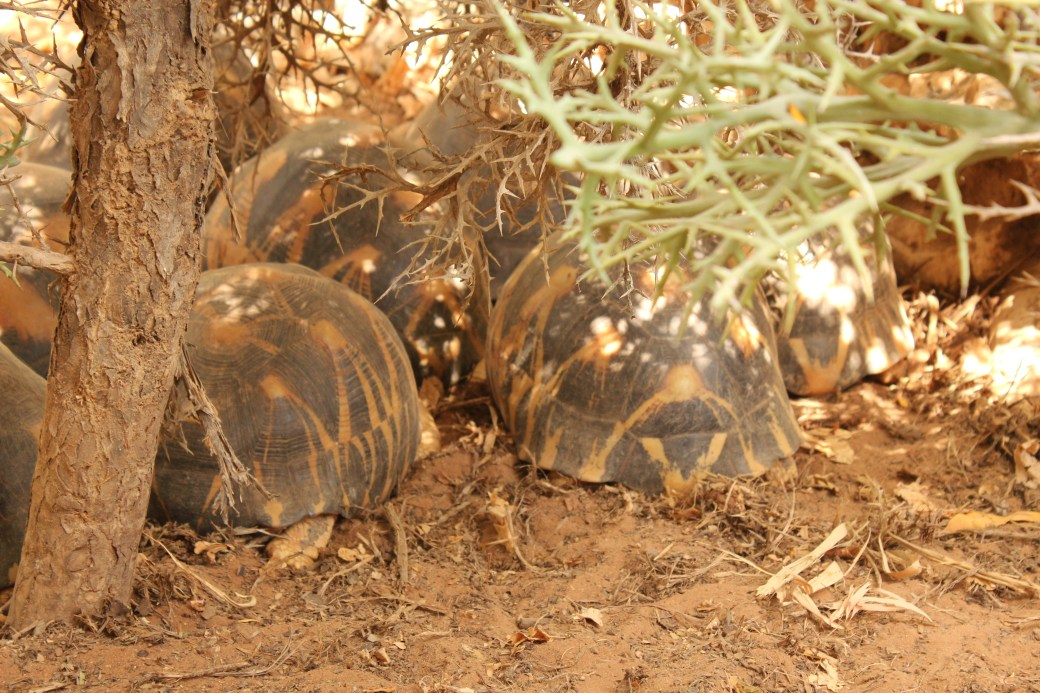 Land Tortoises; Toliara, Republic of Madagascar; 2013