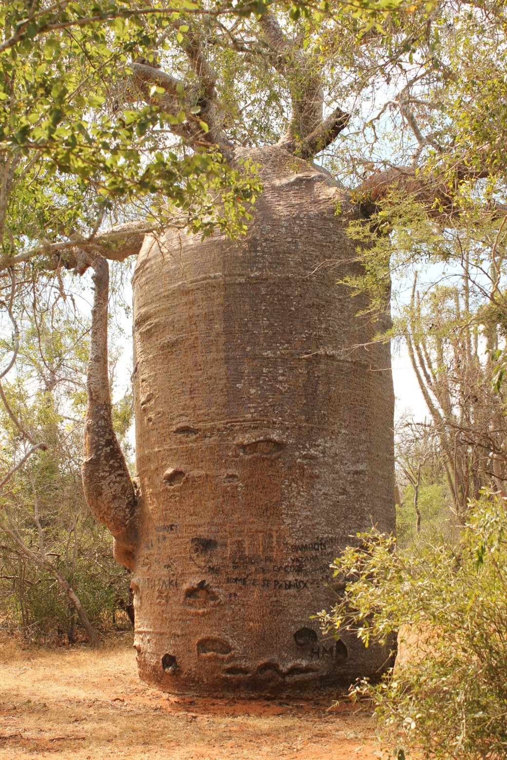 500+ Year Old Baobab Tree; Ifaty, Republic of Madagascar; 2013