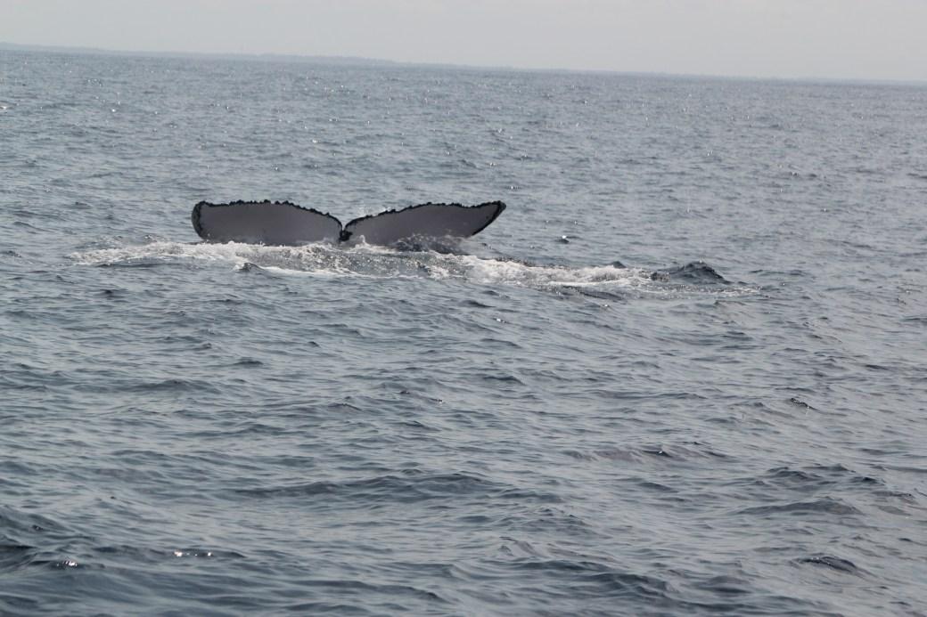 Humpback Whale Fluke; Kizimakzi Dimbani, Zanzibar, Tanzania; 2012
