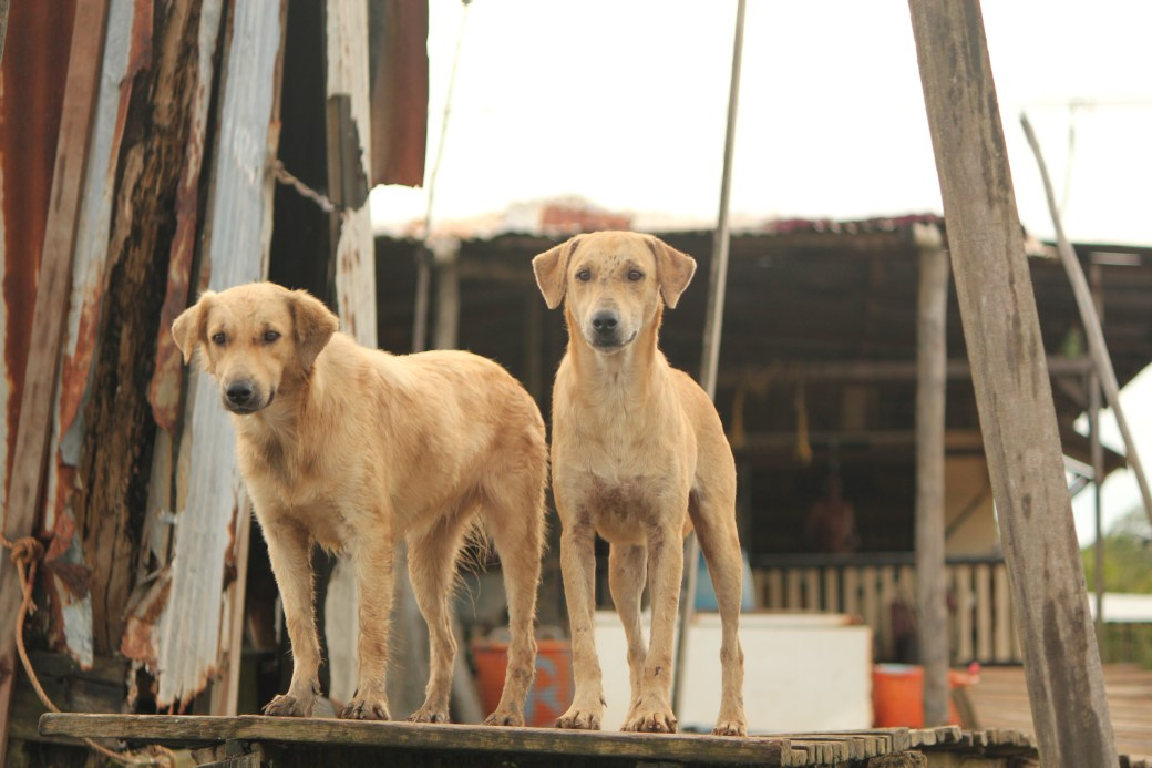 Village Dogs; Paramibo, Suriname; 2013