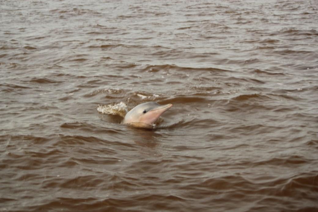 Pink River Dolphin Saying Hello; Paramibo, Suriname; 2013