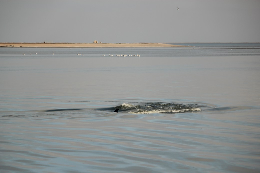 Bottlenose Dolphin in Harbor; Walvis Bay, Namibia; 2013