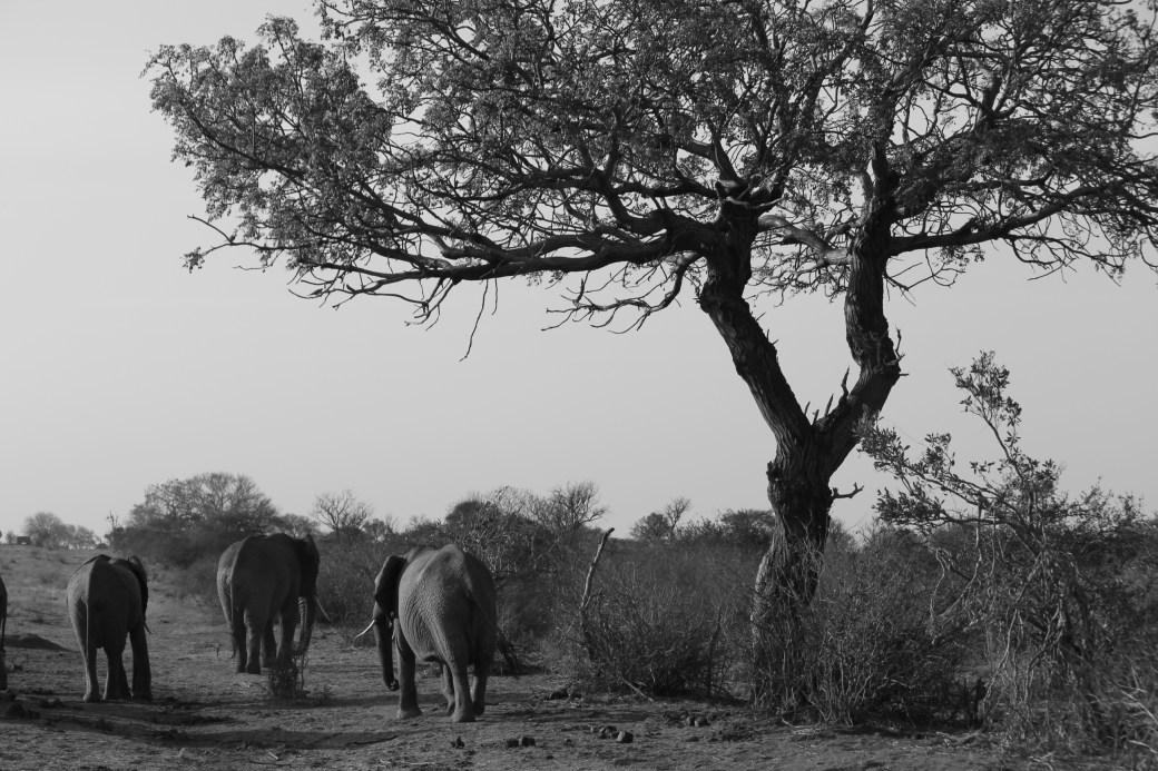 Walking Away; East Tsavo National Park, Kenya; 2011