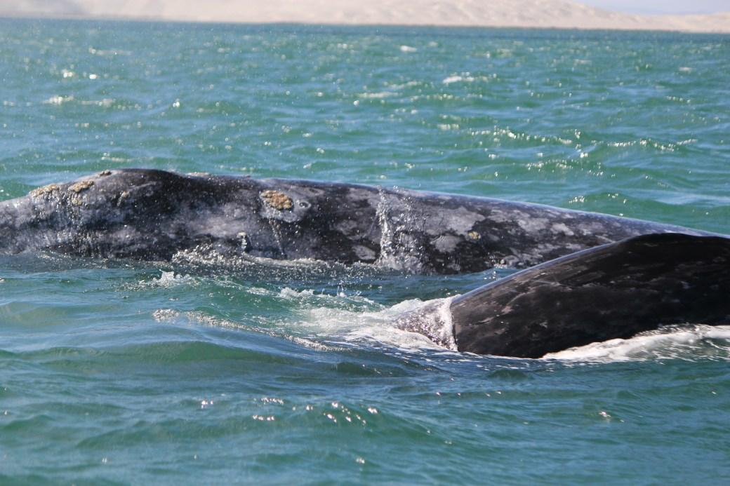 JRB @ Guerrero Negro, Mexico; Grey Whales; 2012 (255)