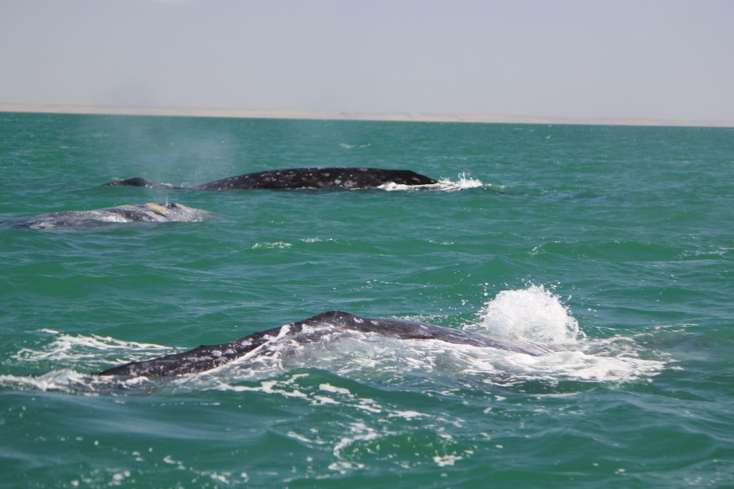 JRB @ Guerrero Negro, Mexico; Grey Whales; 2012 (314)
