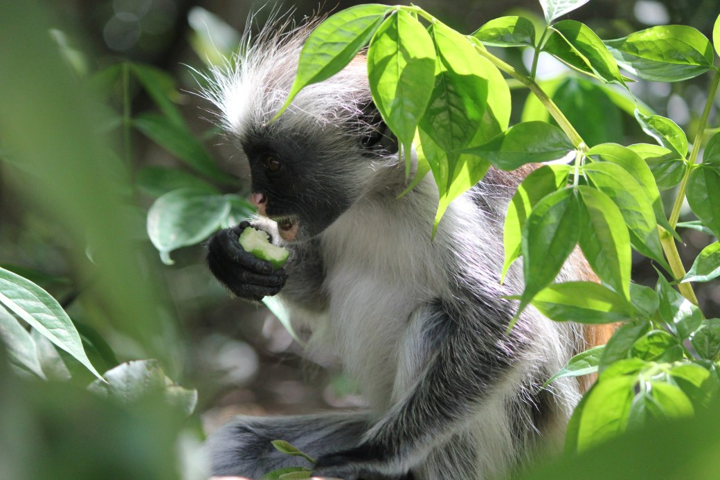 Red Colobus Monkey Eating; Jozani Chwaka Bay National Forest, Zanzibar, Tanzania; 2011