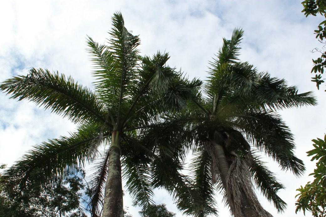 Palm Trees; Trinidad; 2011