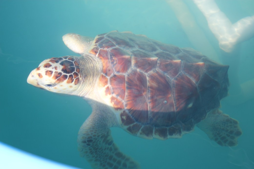 Zippy the Loggerhead; Marathon Key, Florida; 2015