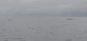 two blue whales spouting simultaenously