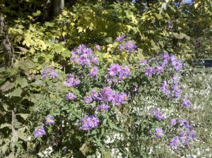 Purple aster Autumn Coshocton Ohio