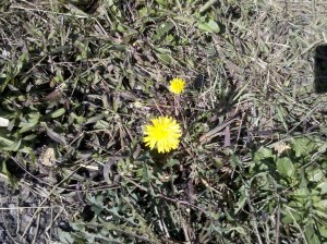 Dandelion on roadside